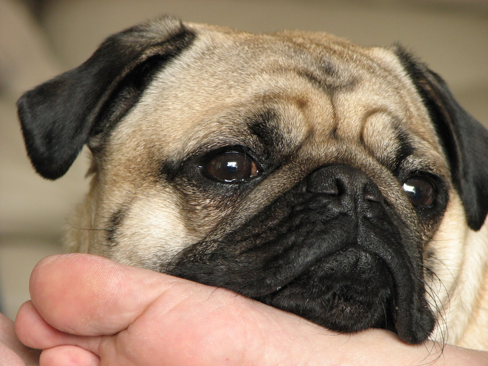 All About Pugs 4